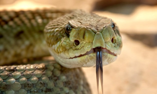 Ditch Medicine: Snakebite Management