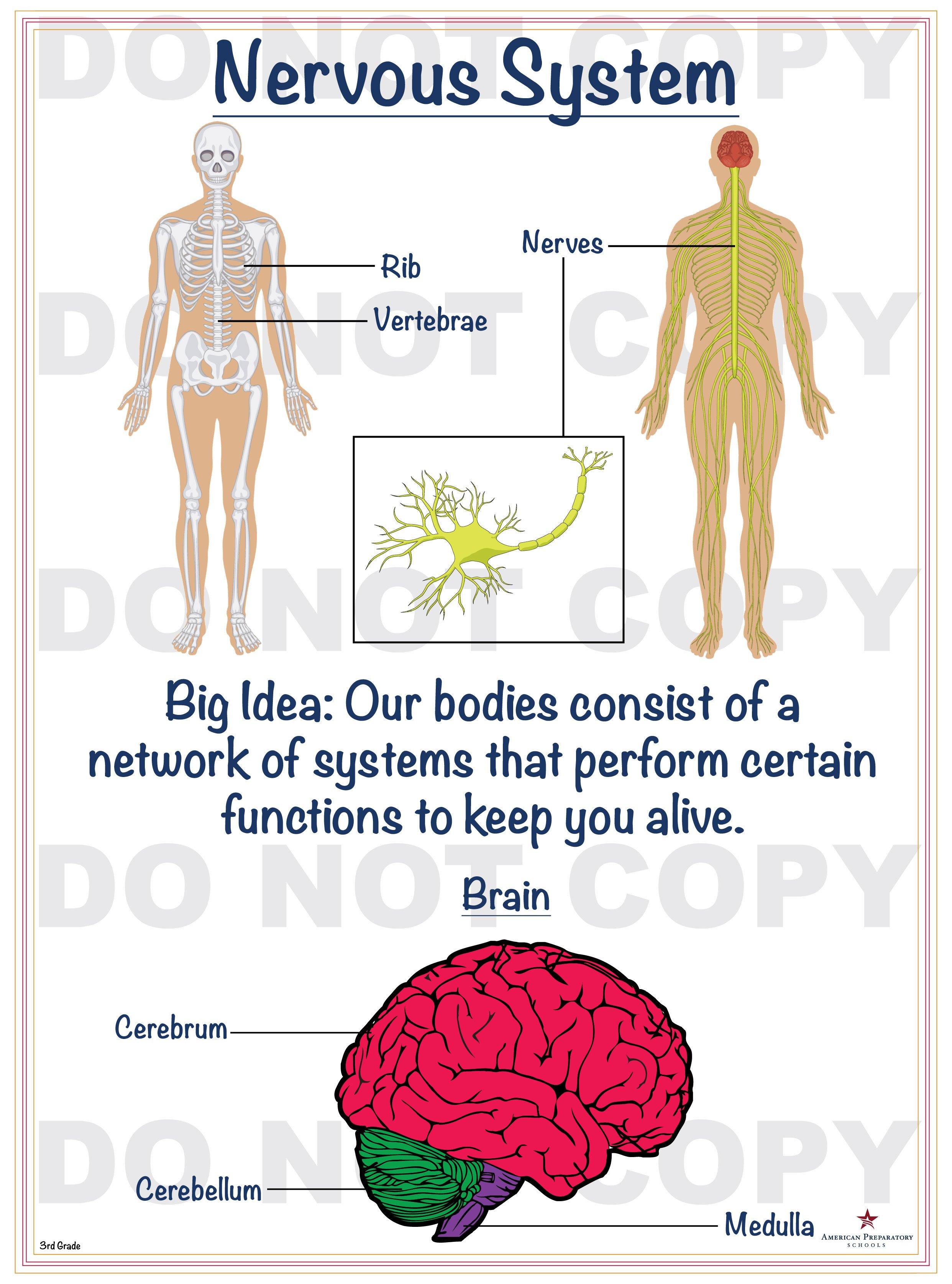 Nervous System 3rd Grade