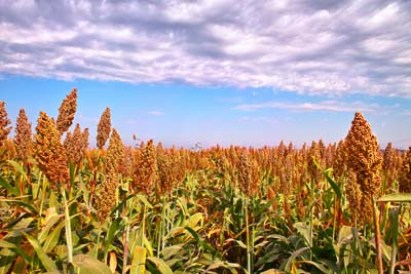 Grow Your Own Sweet Sorghum to Make Molasses - Real Food - MOTHER EARTH NEWS
