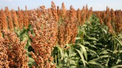 grain-sorghum