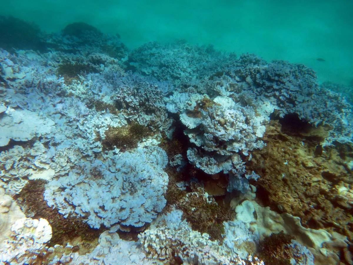Consecuencias de la Intensificación de El Niño: Blanqueamiento de Corales