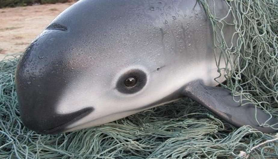 Especies en Escena: La Vaquita Marina