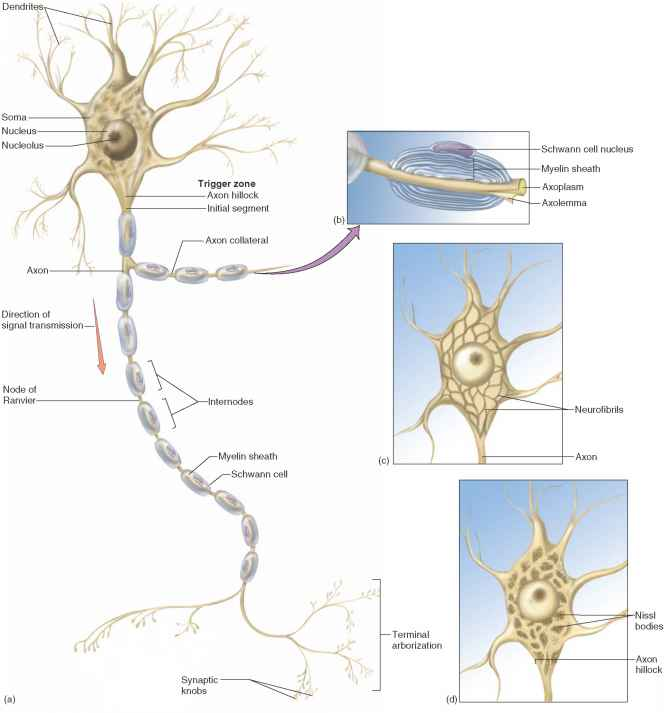 Structure of a Neuron - Physiology - AmeriCorps Health Blog