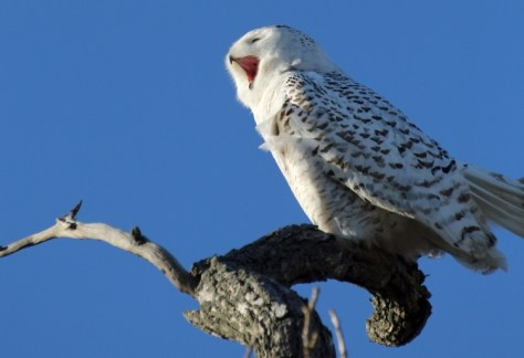 Snowy Owl - Photo by Brian Little