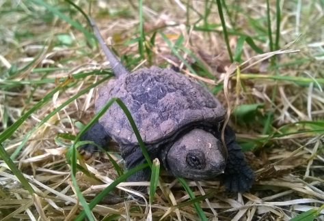 Baby Snapping Turtle - Photo by Terry McGinn