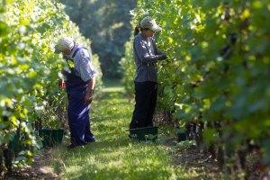 VendangesGimb 039 - Le vignoble face au défi climatique
