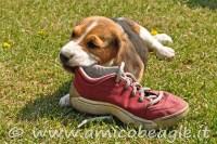 beagle morde tutto foto