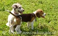beagle socializzazione foto