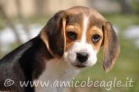 beagle età giusta foto