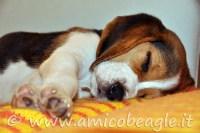 beagle dorme sempre foto