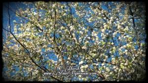 March- Bradford pear tree