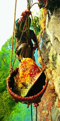 The honey is stored in the bulging part of the nest, attached to the rock. To collect it, the Perengge must position the bamboo basket by maneuvering another pole held at arm's length, underneath the part he is preparing to cut away with the other pole.  From the top of the cliff, two men adjust the tension of the rope supporting the basket, guided solely by orders yelled out by Bolo Kesher's son, who is stationed further off to have an overall view of the site. It is a coordinated effort that is accomplished blindly and on which the harvest's success heavily depends.