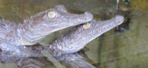Monitoreo de caimanes y cocodrilos