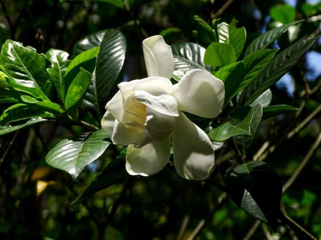 01 - Gardenia jasminoides