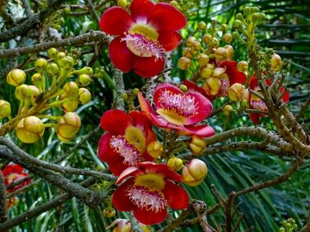 02 - Coroupita guianenses (1)