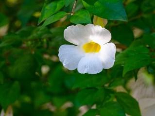 02 - Thumbergia erecta