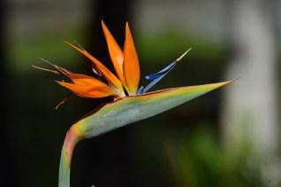 022 - Strelitzia reginae