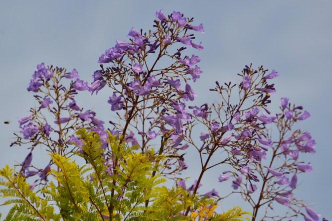 03 - Jacaranda mimosifolia