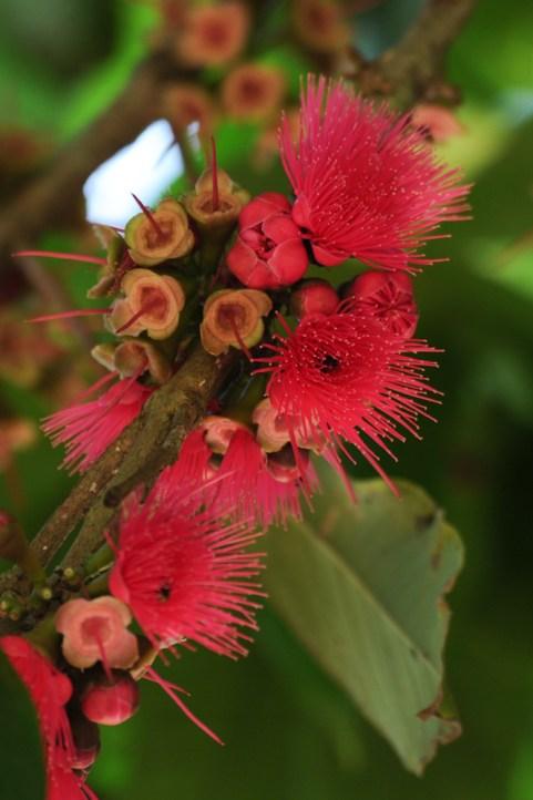 03 - Syzygium malaccensis 2