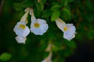 03 - Thumbergia erecta