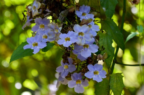 036 - Thumbergia grandiflora