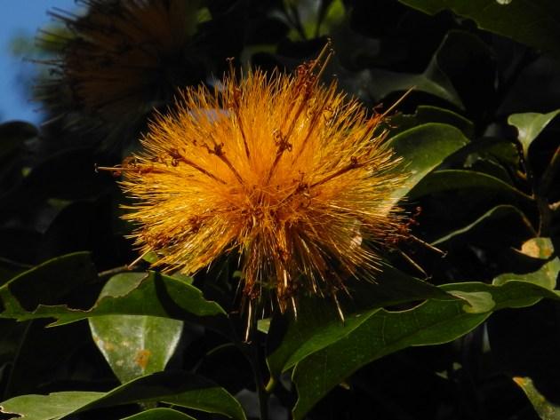 044 - Stifftia crysantha