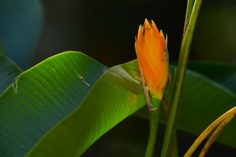 048 - Heliconia episcopalis