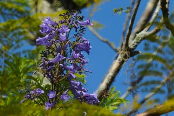 05 - Jacaranda mimosifolia