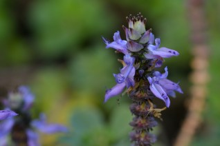 05 - Plectranthus ornatus