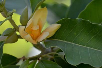 054 - Michelia champaca