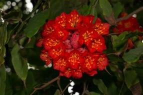 06 - Brownea grandiceps