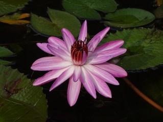 06 - Nymphaea rubra
