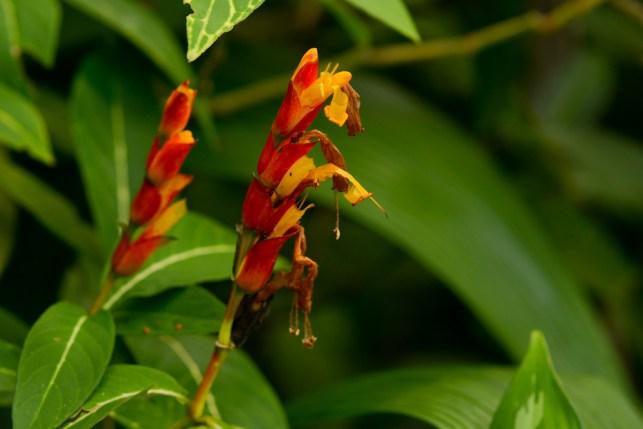 06 - Sanchesia nobilis