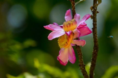 066 - Gustavia gracilima