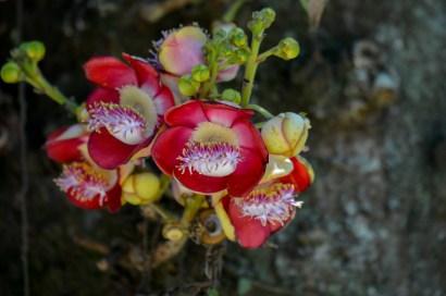 070 - Coroupita guianensis