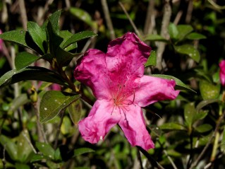10 - Rhododendron simsii
