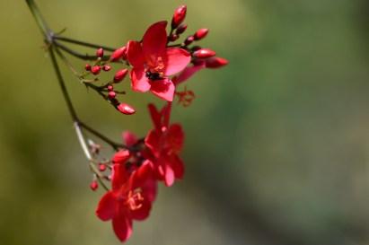 11 - Jatropha panduraefolia