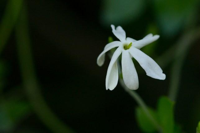 12 - Jasminum nitidum