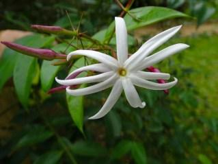13 - Jasminum nitidum