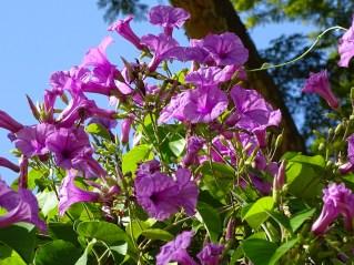 15 - Maripa violaceae