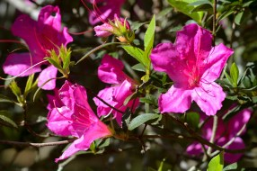 15 - Rhododendron simsii
