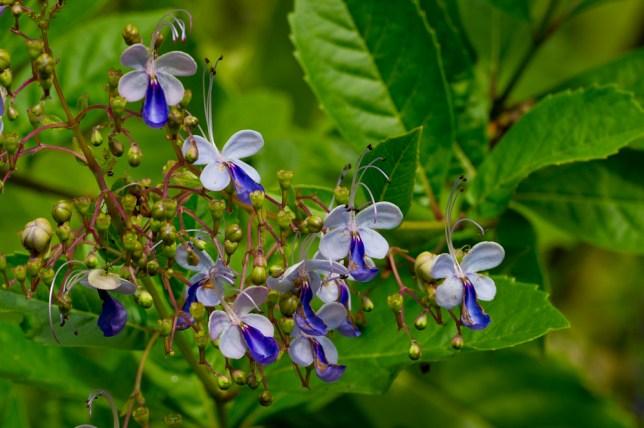 16 Clerodendron ugandensis