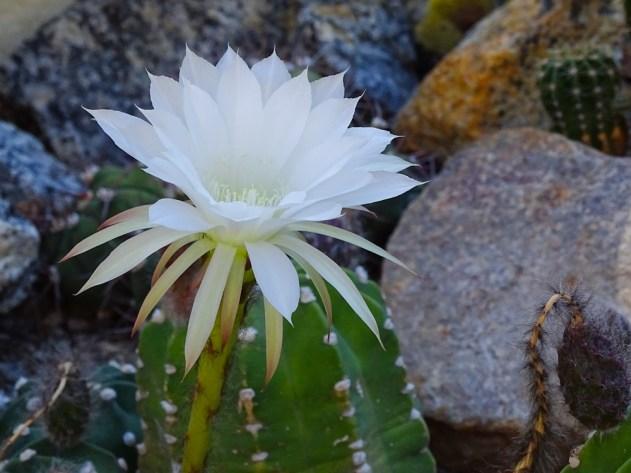 17 - Cactus sp
