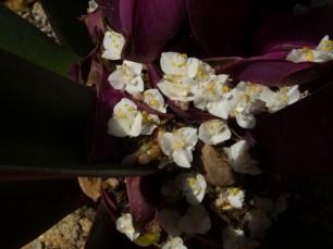 17 - Tradescantia spathaceae