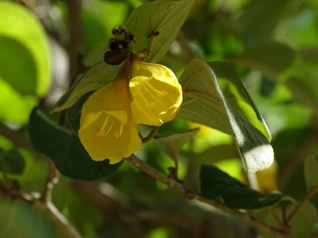 18 - Gmelina asiática