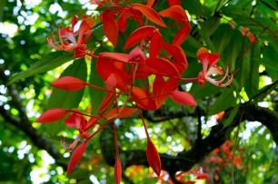20 - Amherstia nobilis
