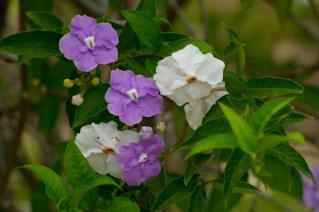 20 Brunfelsia grandiflora