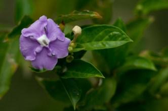 20 - Brunfelsia grandiflora