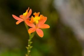 20 - Epidendrum deticulatum
