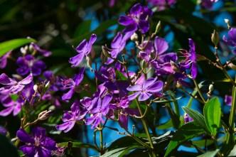 20 - Tibouchina granulosa